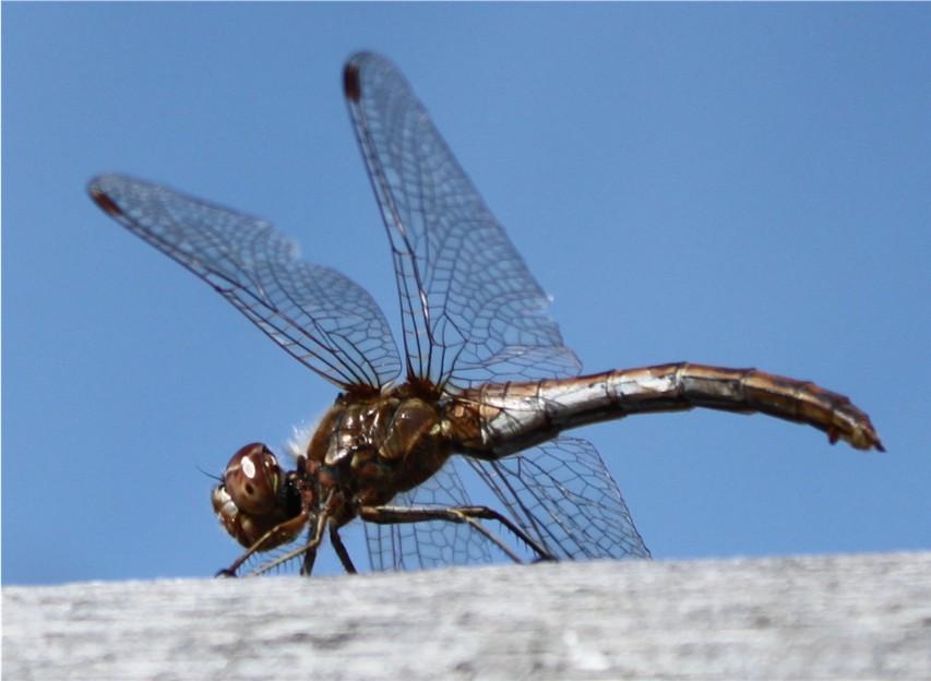 flotte guldsmede insekt